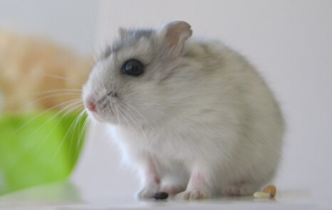 Exotic Pets - Hamster